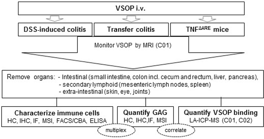 Systematic comparison of VSOP binding and GAG composition in vivo in mouse models of intestinal Inflammation.